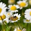 秋のゴルフは蜂(ハチ)に注意!あせらず、あわてずハチに刺された時の対処法
