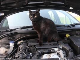 なぜ猫はエンジンルームに入るのか?入ってしまった際の対処法は?
