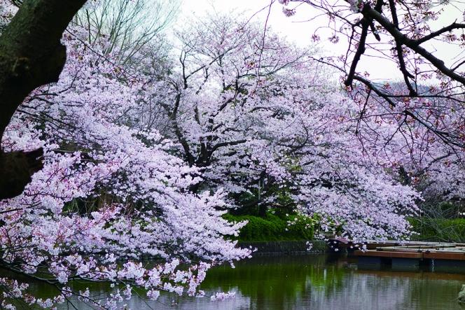 アヘッド 桜