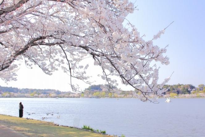 千波湖 花見シーズン
