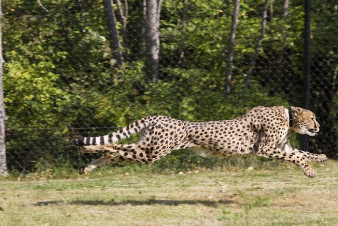 Cheetah run