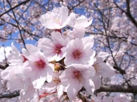 お花見ドライブデートに!関東近郊おすすめ桜名所&お花見スポット特集